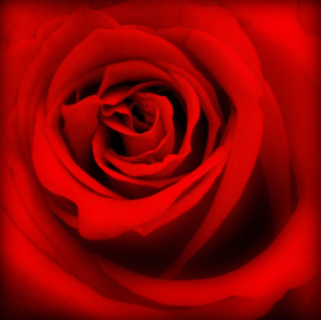 roses,day,valentine's,love,romantic,red,color,communicate